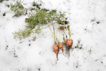 Carrot In Winter