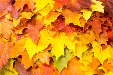 Texture, background, pattern. Autumn maple leaves. Background of maple leaves. Red and yellow maple leaves Autumn advance; Autumn motive