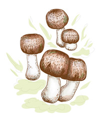 Agaricus blazei murill. Vector illustration