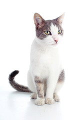 Domestic cat on isolated white background. Cat wanting food. Animal mammal pet. Beautiful grey white cat young kitten on isolated white studio photo background. Cat with beautiful eyes. Cute