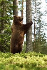 Bear standing upright. Bear stands on two feet.