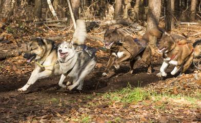 Vier-span honden nemen komen de bocht om.