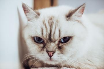 Cute British cat