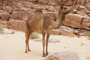 A wild Camel in the Sinai desert