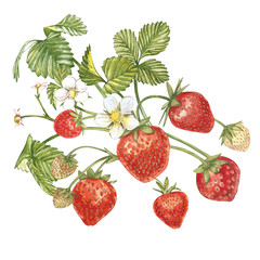Strawberry leaves with flowers and ripe berries. Bright composition of a strawberry bush. Hand drawn watercolor painting illustration.
