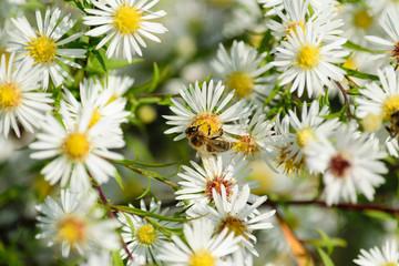 Biene beim Nektarsaugen