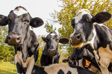 a herd of cows looking at the camera