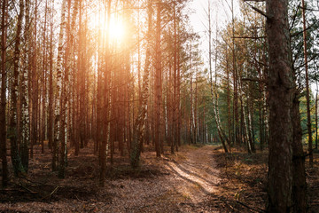 A country road in a coniferous forest early in the morning. The rays of the sun through the branches.