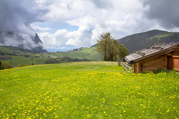 Blooming dandelions field in Alps