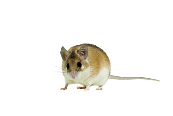 light yellow spiny mouse with white belly on a white background looks into frame