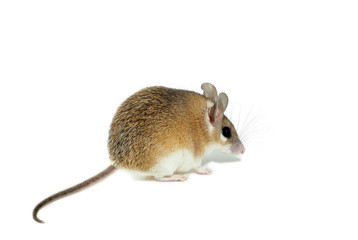light red spiny mouse with white belly on a white background sits sideways to the viewer