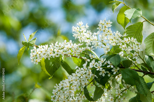 Spring flowers bird spring flowers bird cherry a tree with white spring flowers bird spring flowers bird cherry a tree with white fragrant flowers mightylinksfo