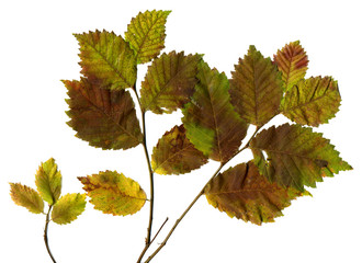 Autumn leaves of oak on branch for herbarium, scrapbooking, floristry,  etc. Isolated on White. High Detail.