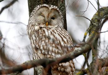 Ural owl (strix uralensis) rests on a tree branch in Minsk