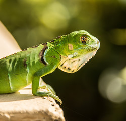 Small Green Iguana On Concrete Ledge