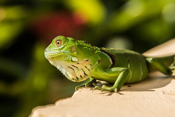 Small Green Iguana On Concrete Ledge