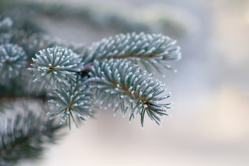 Fir tree branche covered with hoarfrost. Selective focus