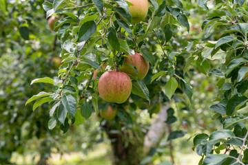 樹上の林檎の実