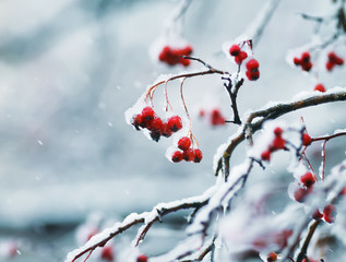 juicy red clusters of Rowan berries covered with white crystals of ice during the first snowfall