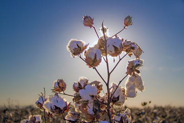 blooming cotton in Arizona