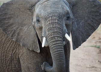 Portrait of an elephant, South Africa