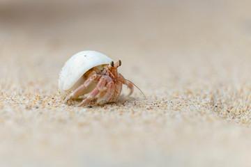 Einsiedlerkrebs am Strand in Sri Lanka