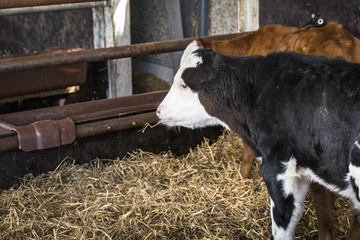 Calf chewing on a straw in a stable