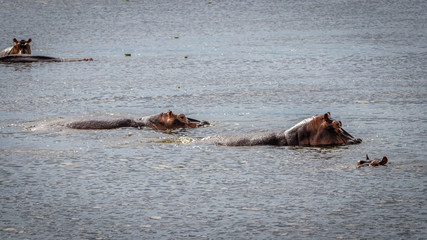 A group of Hippo walking through the Nile river in Murchison Falls national park in Uganda. Too bad this place, lake Albert, is endangered by oil drilling companies