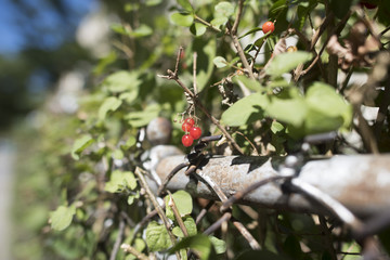 small red berry