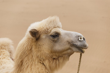 camel, badain jaran II, china