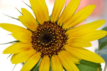 Details of a wild sunflower and green leaves with petals and center