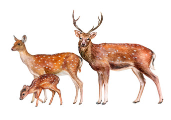 Spotted deer, family. Female, male, child isolated on white background. Watercolor. Illustrated. Template. Handmade