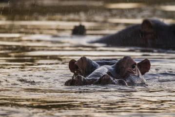 Hippopotamus, Kruger National Park