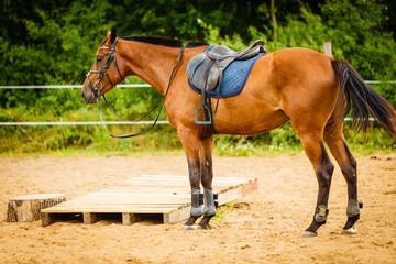 Beautiful brown arabian breed horse with saddle