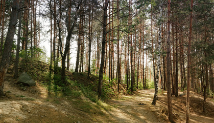 Dirty clay road in a coniferous forest. Foggy pine wild woods landscape in Ukraine