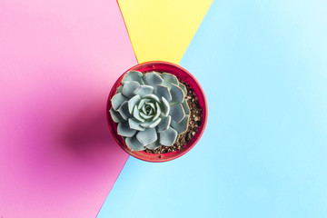 succulent flower on bright colored background. Flat lay, top view