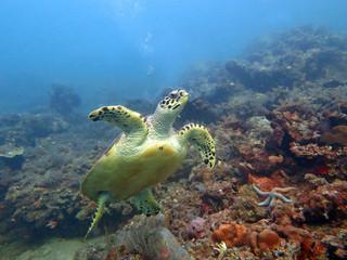 Hawksbill  sea turtle   current on coral reef  island, Bali.