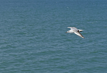 White seagull flying over the sea waves.