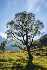 Ahorn in den Alpen karwendel