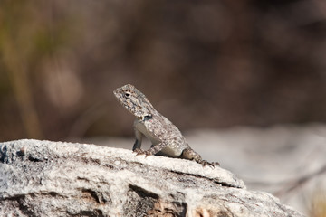 Agama, South Africa