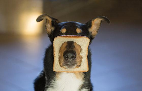 Kurzhaarcollie im Toast