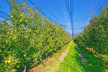 Apple orchard harvest time