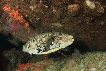 Pufferfish fish in ocean