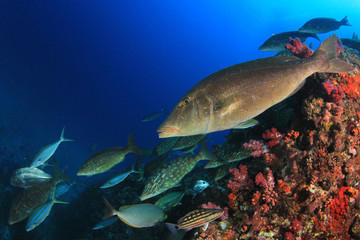 Fish school hunting on coral reef