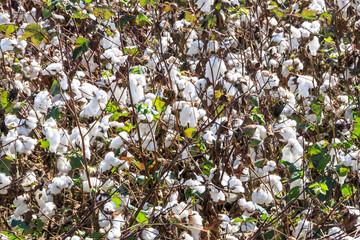 Cotton fields