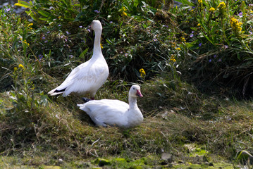 Snow Goose relaxing in high grass