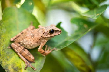 Brown common tree frog in Thailand