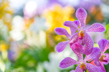 Tuinposter Orchidee Beautiful orchid purple and pink in garden , can used for greeting cards