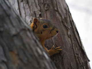 Close up of a squirrel's head between tree trunks. Photographed with a shallow depth of field.