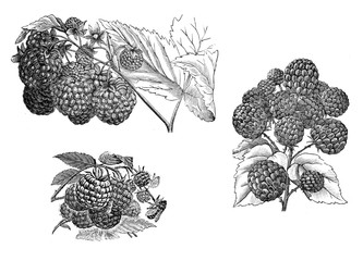 Illustration of vegetables. Raspberry